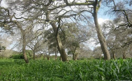 Di Zambia, setelah pohon Faidherbia—dengan bibit murah dan mudah pemeliharaan—ditumpangsarikan dengan jagung, panen melonjak. Kredit Foto: World Agroforestry Centre.