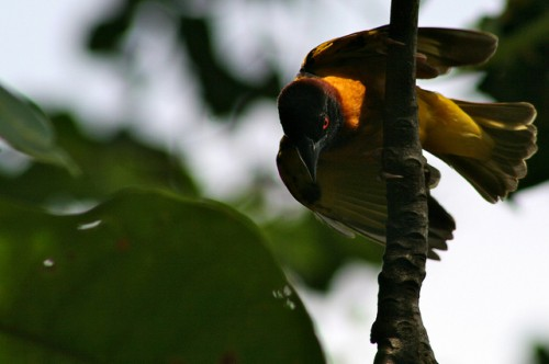 A wild bird in Cameroon. Terry Sunderland/CIFOR photo