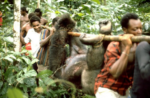 Le commerce de viande de brousse menace les espèces de mammifères en voie de disparition, dont le gorille des plaines occidentales au Cameroun. Edmond Dounias/CIFOR photo
