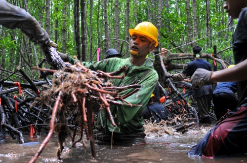 Peneliti mengukur akar mangrove di Indonsia. Menjadi memungkinkan bahwa penebangan selektif dan berkelanjutan pohon mangrove bisa dilakukan sambil menjaga karbon mereka – dan menjaga mereka dari nasib lebih buruk. Klik di sini untuk membaca. Kate Evans/Foto CIFOR