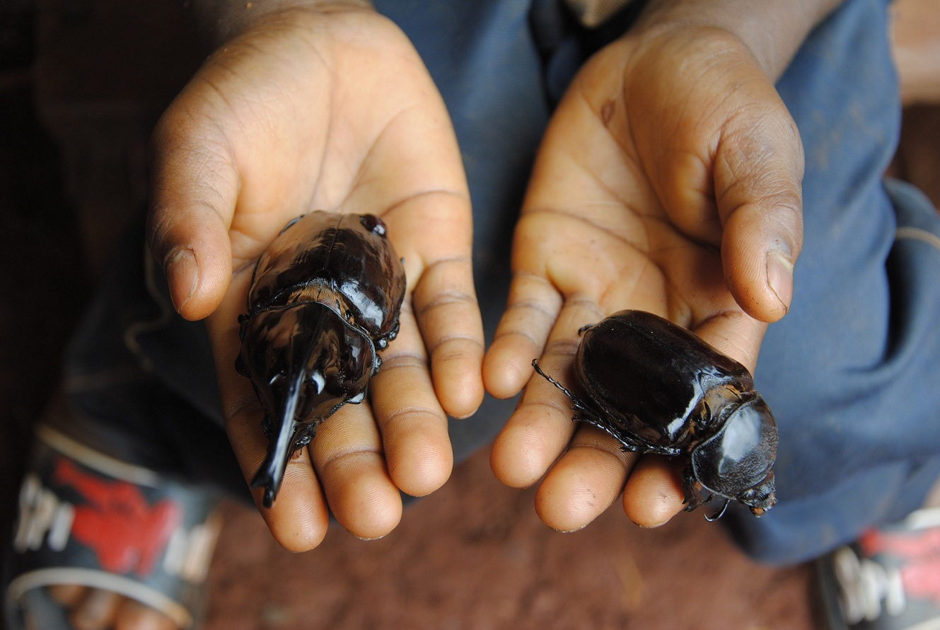 Eat The Beetles Rural People Losing Their Taste For A Crucial Food Source Cifor Forests News