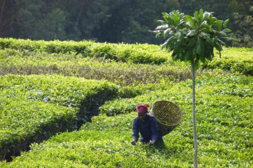 Una mujer cosecha té en Imenti, Kenia, donde la superficie forestal en gran medida ha dado paso a la producción de cultivos. Fotografía cortesía de Erik Nordman.