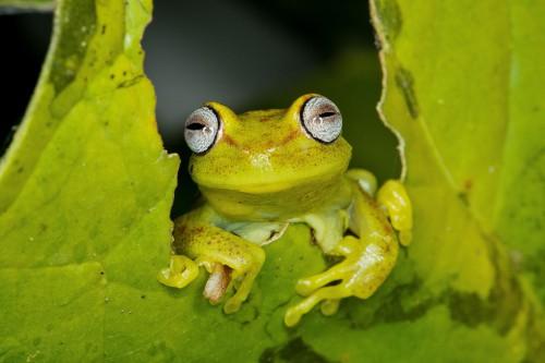 Nasional Manú di Amazon Peru, manu national park, peru, frog