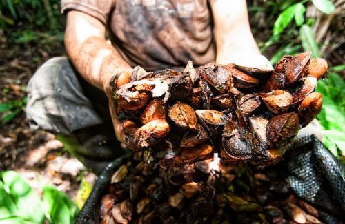 Serapio Condori Daza, recolector de castañas, muestra los frutos de su trabajo en Madre de Dios, Perú. Una asociación de recolectores se ha asociado con una empresa para mejorar su actividad como parte de una iniciativa de REDD+ en el lugar. Fotografía: Marco Simola / CIFOR.