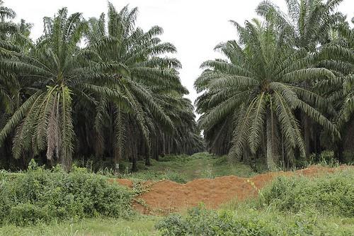 An oil palm plantation in southwestern Cameroon. Flore de Preneuf/PROFOR photo