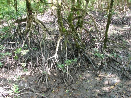 A mangrove forest.