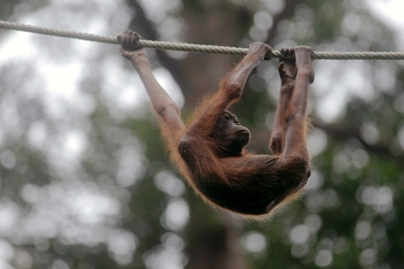 wildlife trafficking, IUCN Red List, IUCN, orangutan, Bali
