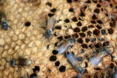 Permalink to: Bees make a buzz in peatland conservation areas in Indonesia