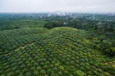 Permalink to: Governing sustainable palm oil in Indonesia: An evolving policy regime