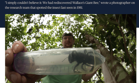 Giant bee, Molucca Island, Indonesia, University of Sydney