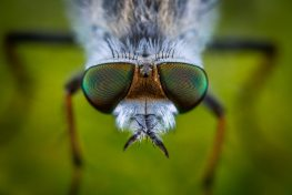 cose up of a fly that could become extinct