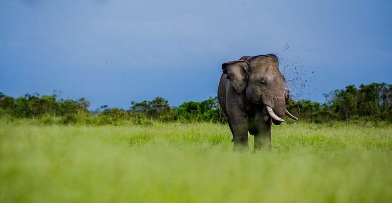 sumatran elephant, wildlife conflict, extinction, bioenergy