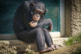 chimpanzee, ghetto chimp, chimp ghettos, extinction, specoes extinction, chimp extinction, scientists warn