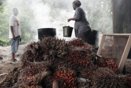 smallholder palm oil in Cameroon, oil palm, palm oil, Congo Basin, Central Africa, smalholder