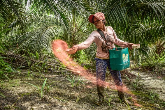 smallholder, palm oil, oil palm, indonesia, sustainable palm oil, ISPO, RSPO