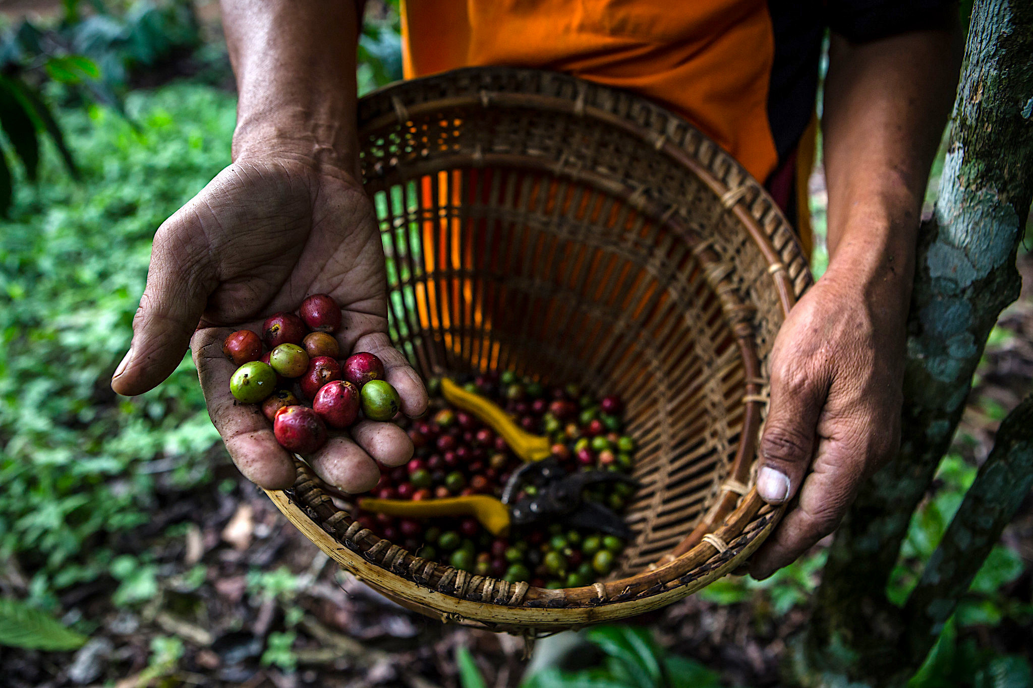 How a coffee rust epidemic escalated in Chiapas, Mexico