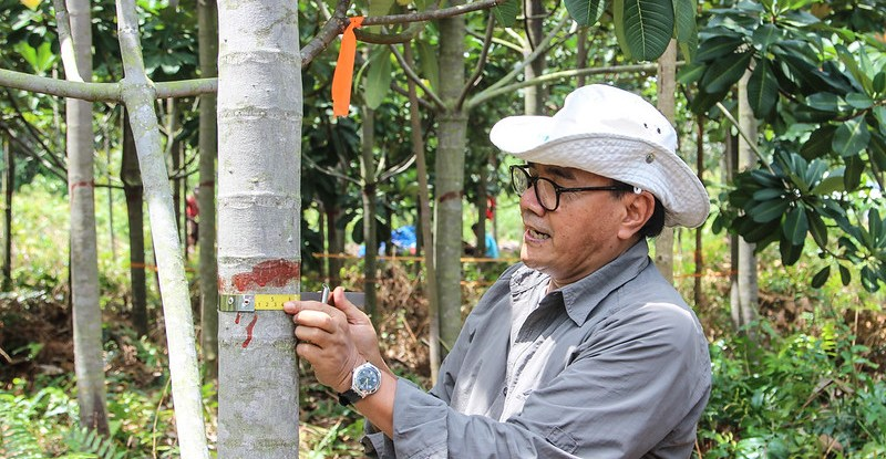 A scientist wearing a hat, wraps a tape measure around a marked mangrove tree trunk and measures it