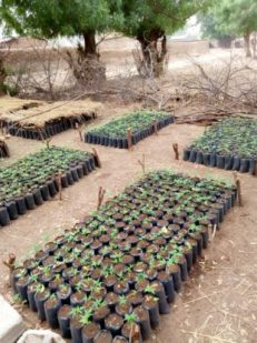 Plants in plastic pots laid out in rows at a nursery in Mogazang, Cameroon