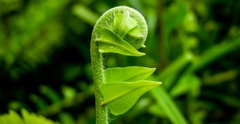 A vibrant green fern shoot unfurls