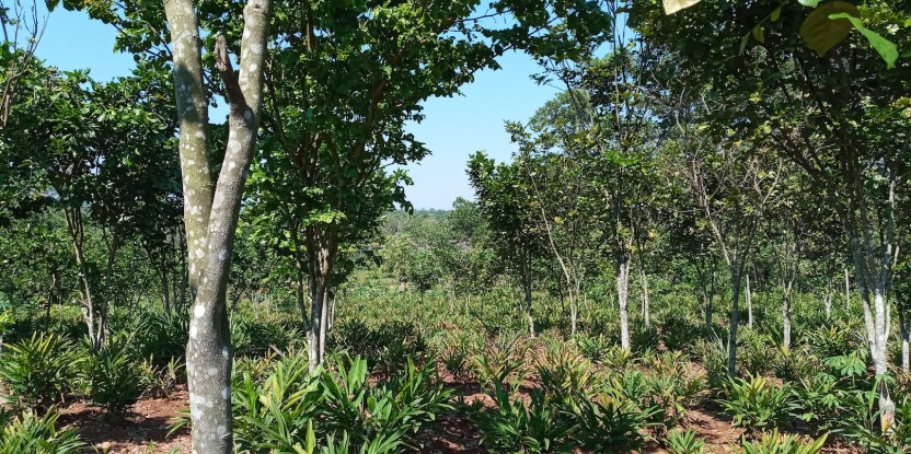 Mixed agroforestry farming system with pongamia