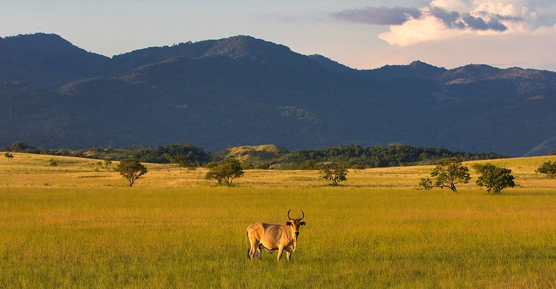 A decorative picture shows a steer in a field at sunset against a forested mountain backdrop