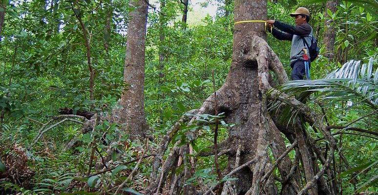 A man stands on the root of a mangrove and measures the trunk with a tape measure