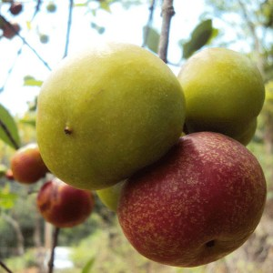 So far, ICRAF has been focusing on fruit and fertilizer trees. Photo: Bioversity International/N. Hegde