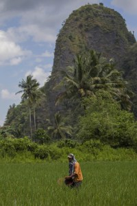A farmer fertilizing his rice field in Rammang-rammang village, South Sulawesi, Indonesia. Resilience is a key term when it comes to facing climate change in agriculture. Photo: Tri Saputro/CIFOR