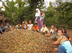 Coffee production in Indonesia. Photo: Charlie Pye Smith/CIFOR
