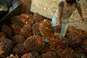 A worker loading oil palm fruit off a truck in Sabah, Malaysia. Photo: M. Edliadi/CIFOR