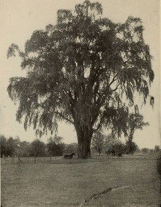 "Elm tree. Photo: ""The tree book : A popular guide to a knowledge of the trees of North America and to their uses and cultivation"" (1920)"