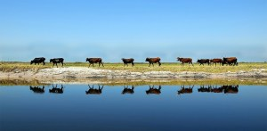 Cattle in the Bartose floodplain, Zambia. Photo: Trinidad del Rio for the Global Landscapes Forum 2014 photo competition