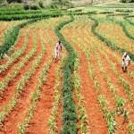 Farming Gliricidia and Maize. Photo: Nicolas Vereecken