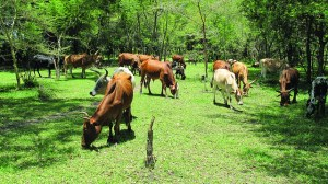Cattle grazing in the Ngitili in Shinyanga Region. Photo: World Agroforestry Centre