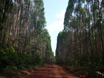 Plantation forest. It is estimated today that only a quarter of tropical forests are pristine. Photo: TmFO