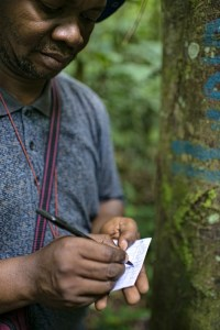 One of the PhD students, Prosper Sabongo is measuring a Funtunia Africana in the Forest Reserve near the village of Masako, Kisangani, Democratic Republic of Congo. Photo: Ollivier Girard/CIFOR