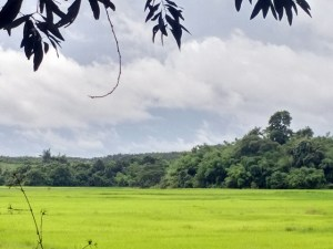 agroforestry-has-a-long-history-in-myanmar