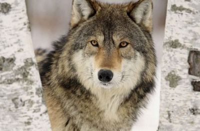 Wolf: death and rebirth, ability to pass the unseen, taking advantage of change, spirit teaching.