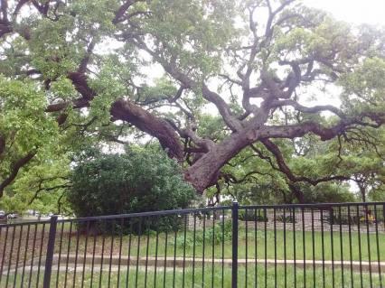 Texas-Live Oak