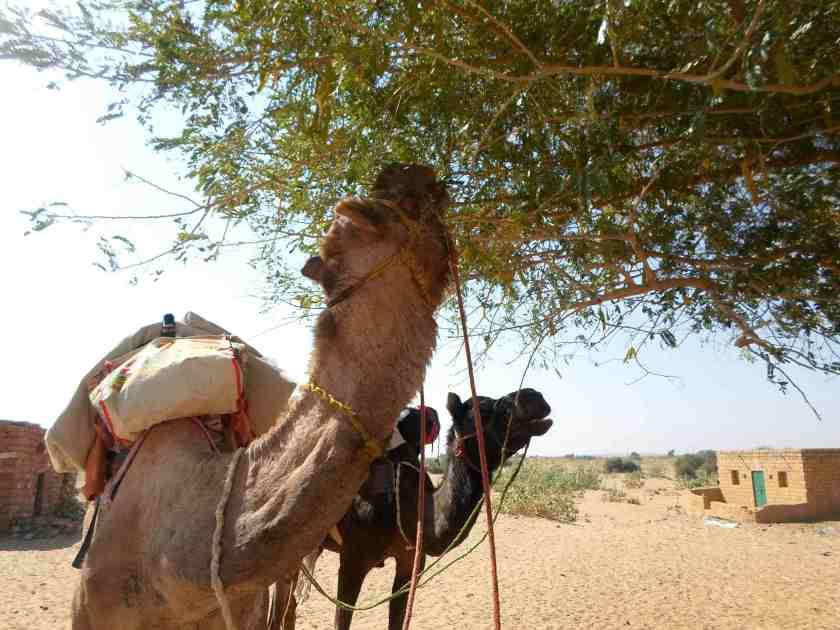 camel safari-jaisalmer-thar-desert