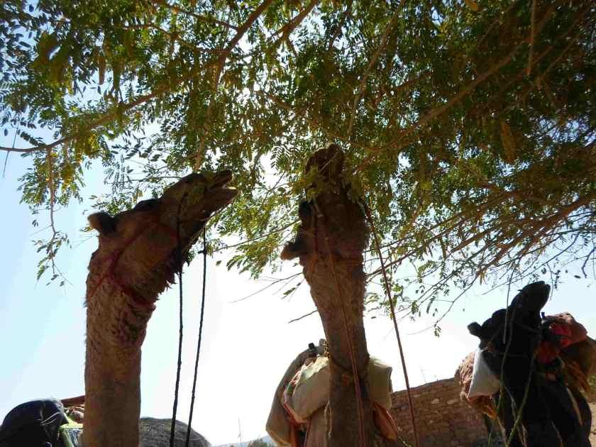 camels-thar-desert-safari