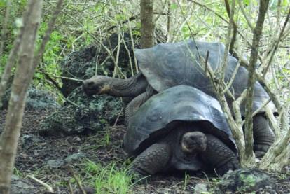 galapagos-tortois