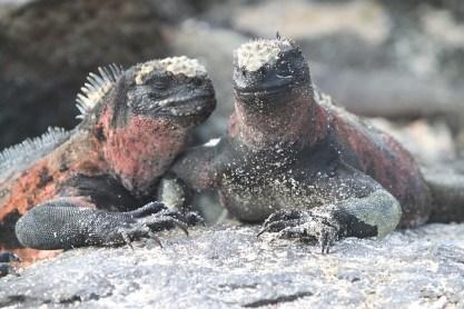 marine-iguana-Galapagos