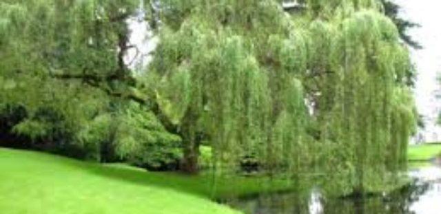 Et piletræ ved sø