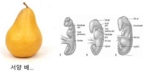 임신초기 아기와 자궁의 모습