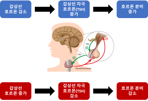 갑상선 기능저하증과 갑상선 기능항진증의 혈액검사결과
