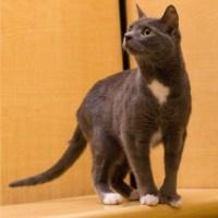 gray polydactyl cat for kitty's sake