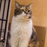 medium hair calico cat for kitty's sake