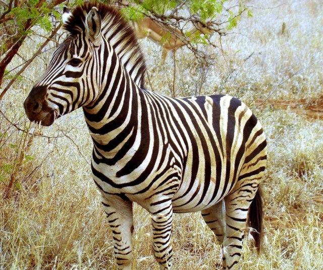 Beautiful_Zebra_in_South_Africa