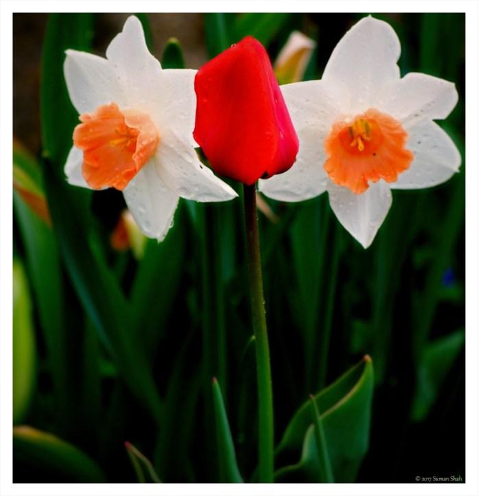 Tulips and daffodil